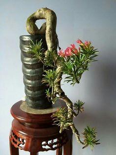 This might be an Adenium obesum bonsai a.k.a. desert rose. Native to E & NE Africa & the Arabian Peninsula. (Succulent)