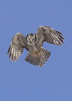 cc  Northern Hawk-Owl