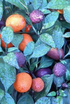 Ornamental peppers (Capsicum annuum) turn orange, red, white, yellow or purple to spice up fall in the kitchen garden.