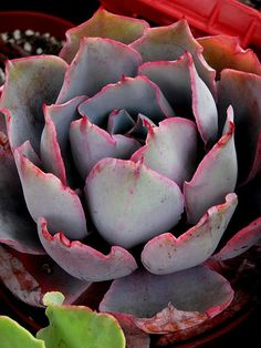 "Echeveria ""Afterglow"""