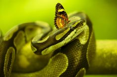 Snake + Butterfly by EDEMIN RAMIREZ viewfinder image production on 500px