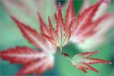 Auf Postern der Nationalflagge Kanadas kann man ein rotes Ahornblatt entdecken…