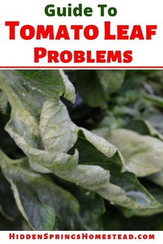 Are Your Tomato Leaves Curling Up? Your guide to tomato plant problems! If you are an organic gardener, you can still fix common tomato leaves curling if know what it is. Learn how to figure it out the problem and fix it. Garden Pests, Potager Garden, Veg Garden, Tomato Garden, Fruit Garden, Gardening Vegetables, Garden Fun, Garden Ideas, Gardens