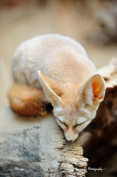 Sleeping fennec fox at the Chicago zoo by Songquan Deng on Getty Images