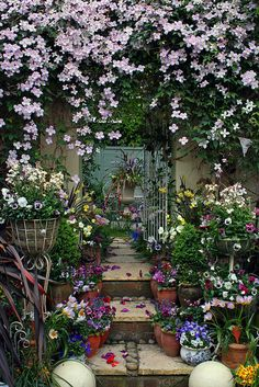 a stunning walkway created with a beautiful and simply fabulous  vine- clematis, pansies in pots