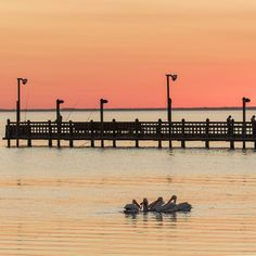 Four American White Pelicans enjoy dinner after sunset at Pier Marker 35 just off the JFK Memorial Causeway in Corpus Christie, Texas. This pier on the Gulf Coast of Texas is a popular view at the end of the day and this beautiful peach and purple sunset sets the stage. Every photo is available as a Fine Art Print. Decorate your home or office with a high quality Canvas, Metal, Acrylic or Wood Print. Posters and matted and framed prints are also available.