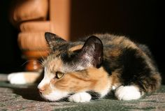 calico cat | Calico Cat Pictures