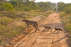 What a rare sighting! While guests from nThambo Tree Camp were out on a game drive, they came across a female cheetah with her cubs. A great welcome to the Kruger !  #kruger #cubs #cheetah #predators #babies #wildlife #cats #nthambotreecamp #klaserie