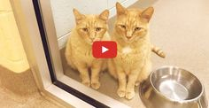 Two 12-year-old Ginger Brothers Waiting by the Window to be Adopted - We Love Cats and Kittens