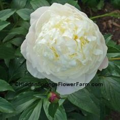 Fragrant Antiuque French Peony Duchesse de Nemours, week 5