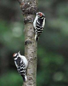 Downy Woodpecker 2young DSC_0412 Castillo