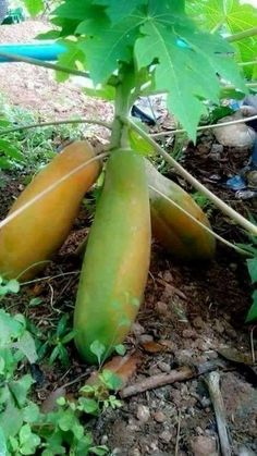 gandul or kathes or pepaya Dwarf Fruit Trees, Growing Fruit Trees, Fruit Plants, Fruit Garden, Papaya Plant, Papaya Tree, Fresh Fruits And Vegetables, Fruit And Veg, Veggies