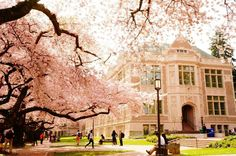 UW Cherry Blossoms | Spring 2014 (Photo by Pike W. Nuengsigkapian)