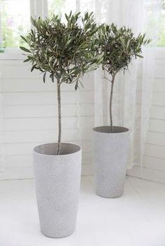 Oliventrær i sandstone potter.