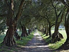 Paseo de los olivos del Pazo de Sta Cruz de Rivadulla u Ortigueira. Vedra,La Coruña.