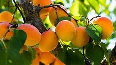 Meruňky, které se neošetří řezem, mají tendenci předčasně zasychat Gardening Tips, Flowers, Diy, Outdoor, Gardens, Food, Small City Garden, Apricot Tree, Bud