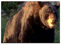 Black Bear « PARC OMEGA Black Bear, Montreal, Family Travel, American Black Bear, Family Trips, Family Vacations