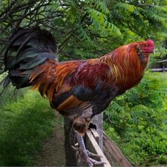 rooster♥♥