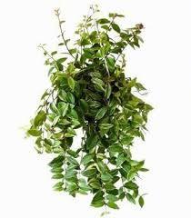 Sterke Hangplanten Voor Binnen.Sterke Hangplanten Voor Binnen