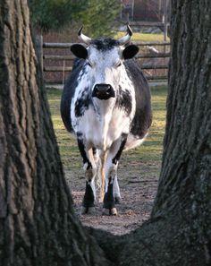 Randall Lineback Cattle