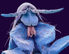 Using a Scanning Electron Microscope, retired scientific photographer Steve Gschmeissner, 61, from Bedford, is able to magnify insects by up to a million times. The results show incredibly detailed images of creepy crawlies in 3D  A coloured scanning electron micrograph of the head of a human flea (Pulex irritans)