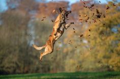 Autumn High Jump 2                                                It's not a trick ... - it's just a Malinois