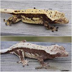 Crested Gecko pair King Arthur and Cookies n' Cream of Beantown Geckos.