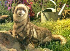 Les 8 Meilleures Images De Furets Furet Animaux Et Furets