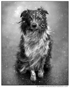 There are still a few copies of this limited edition print available in our online store www.jameswalkerstudios.com This is one of my favorite dog portraits that I've ever taken featuring the world famous border collie, Scully. Her gaze is absolutely mesmerizing!
