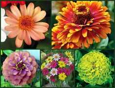 Zinnias are easy to start from seed, even for beginners. Get tips and more info on the Birds & Blooms Blog.