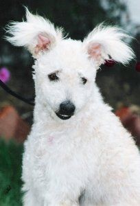pumi dog photo | Hungarian Pumi Breed Information - Breeders lists - Puppies for Sale ...