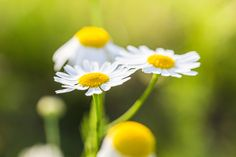 Wonderful Daisies with Bright Background Free Stock Photo Download | picjumbo