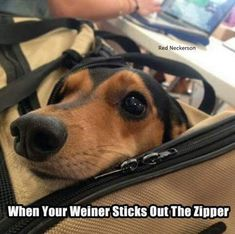 Wiener dog jokes never get old! Dog Jokes, Funny Dog Memes, Funny Dogs, Funny Animals, Cute Animals, Dog Humor, Animal Funnies, Funny Quotes, Funny Dachshund