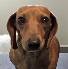 Meet Lucy, an adopted Dachshund Dog, from Southern California Dachshund Relief, Inc. Learn more about Lucy today. Dachshund Dog, Dachshunds, Thai Chi, Rescue Dogs, Shelter Dogs, Finding Your Soulmate, Animal Rights, Beautiful Creatures, Small Dogs