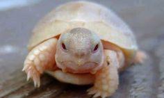 Nace una rara tortuga albina en playa australiana