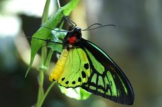 Green Butterfly..wish i cud have one