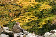 The Snow Monkeys of Jigokudani | Japanese Macaque monkeys bathing in onsen hot springs in Yamanouchi, Nagano, Japan | SnowJapan