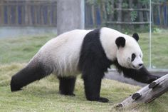 Panda Hao Hao - Panda Paradise - #panda #pandas #belgium #pandasbelgium