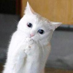 intense white cat