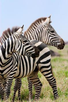 Zebra via Wild Earth