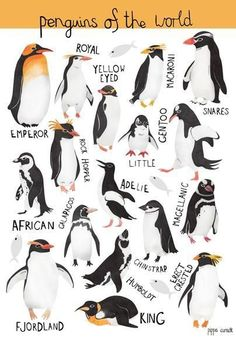 Penguins - visit all the ones in Britain Pin from: Illustration Friday :: Children's Book Illustrator - Pippa Curnick Penguin Party, Penguin Love, Cute Penguins, Penguin Types, Penguin Breeds, Kinds Of Penguins, Different Types Of Penguins, Polar Animals, Animals And Pets