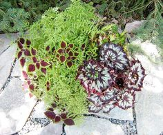 Several containers provide brilliant splashes of color in her shade garden. This one features 'Trailing Burgundy' coleus, 'China Curl' rex begonia, and the fine texture of artillery plant.