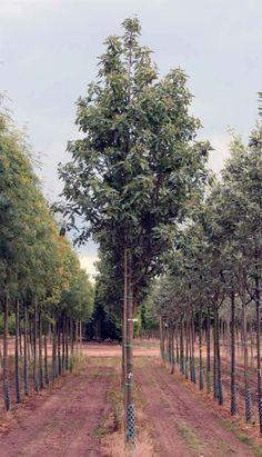 Sorbus x thuringiaca 'Fastigiata'; USDA Zone: 3-9