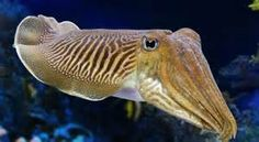 Cuttlefish Facts and Information