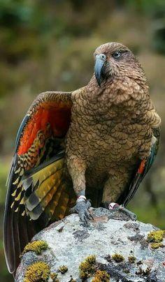 An endangered kea reveals some of its beautiful hidden colors. Pretty Birds, Beautiful Birds, Animals Beautiful, Nature Animals, Animals And Pets, Cute Animals, Exotic Birds, Colorful Birds, Funny Bird