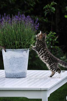 Bratte bakka og grøne lier: ..stakkars katten...