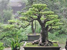 Bo Tree or Sacred Fig (Ficus religiosa) - 50 Seeds Bonsai or feature