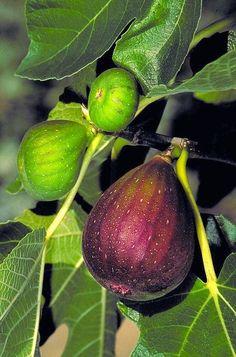 Figs | Mediterranean Garden by Monrovia
