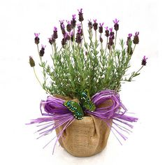 Stunning french lavender with deep purple flowers and aromatic foliage presented in hessian wrap and bow. A beautiufl plant gift to send for all occasionsLavenders have a medicinal use complemented with aromatic foliage and scented flowers throughout summer. Flowers attract bees and butterflies in the the garden. An ideal instant scented Gift. Supplied with care card and gift-tag for your personal message. Plants and flowers make wonderful living gifts to send to family and friends and loved…