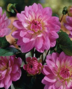 Dahlia 'Christine' • Plants & Flowers • 99Roots.com